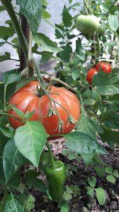 tomates-redux